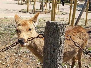 鹿が鎖噛んでる画像集めたの画像1枚目!