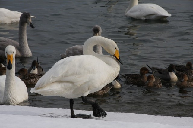 【愛鳥週間】県鳥の画像を貼ってくの画像6枚目!