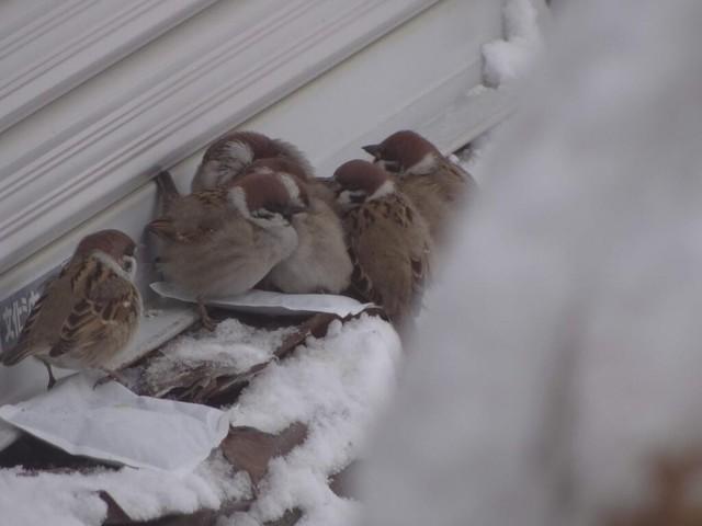 冬の鳥スレ<br />この季節に一度は見る鳥<br />スレ画はハクセキレイの画像23枚目!