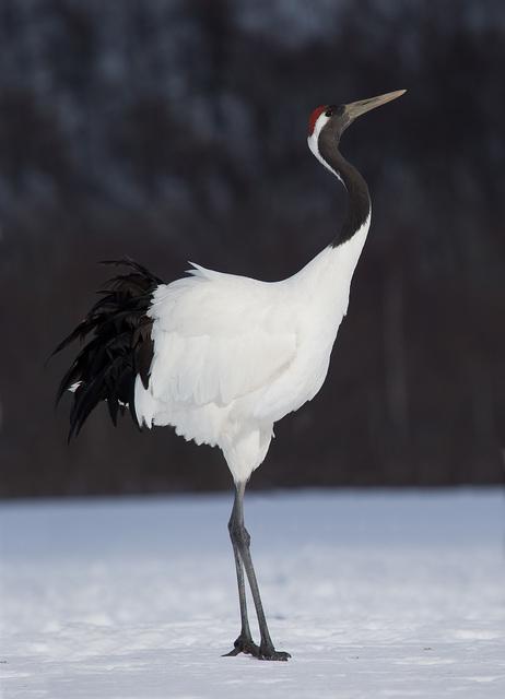 【愛鳥週間】県鳥の画像を貼ってくの画像1枚目!