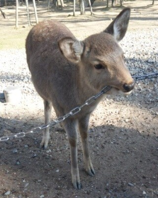 鹿が鎖噛んでる画像集めたの画像29枚目!