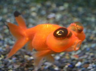 金魚の画像1枚目!