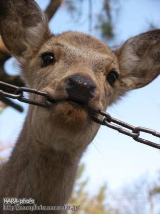 鹿が鎖噛んでる画像集めたの画像38枚目!