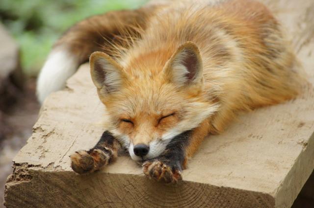 狐スレの画像2枚目!