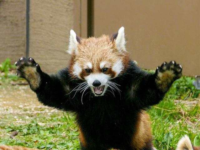 レッサーパンダの画像15枚目!
