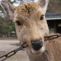 鹿が鎖噛んでる画像集めたの画像2枚目!