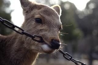 鹿が鎖噛んでる画像集めたの画像14枚目!