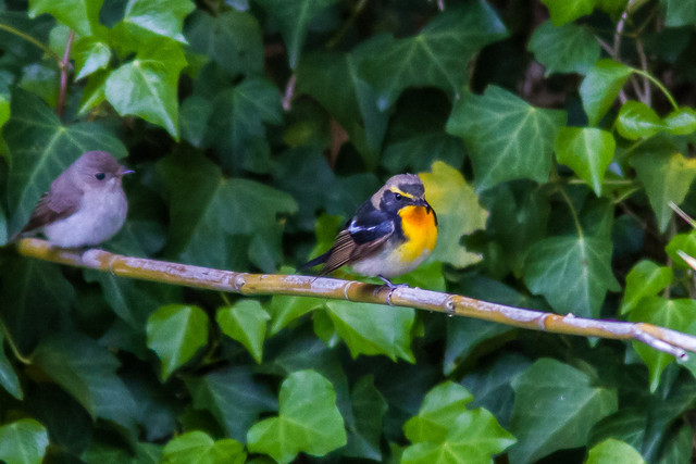 【愛鳥週間】県鳥の画像を貼ってくの画像23枚目!
