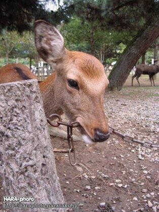 鹿が鎖噛んでる画像集めたの画像25枚目!