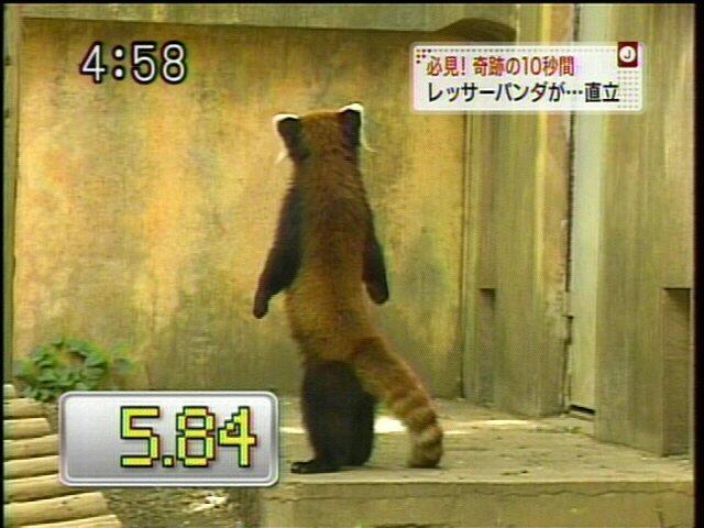 レッサーパンダの画像32枚目!
