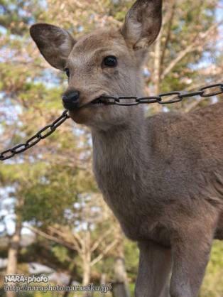 鹿が鎖噛んでる画像集めたの画像20枚目!