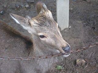 鹿が鎖噛んでる画像集めたの画像13枚目!