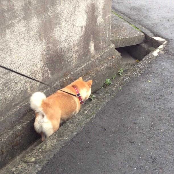 駄犬「ごす!さんぽ」の画像5枚目!