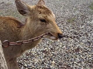 鹿が鎖噛んでる画像集めたの画像10枚目!