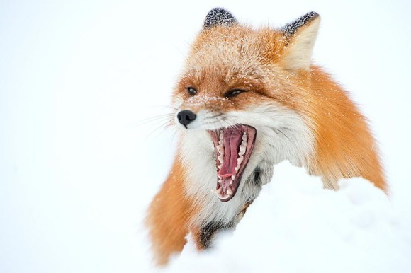 狐スレの画像3枚目!
