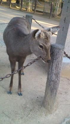 鹿が鎖噛んでる画像集めたの画像11枚目!