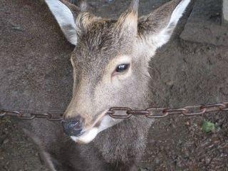 鹿が鎖噛んでる画像集めたの画像30枚目!