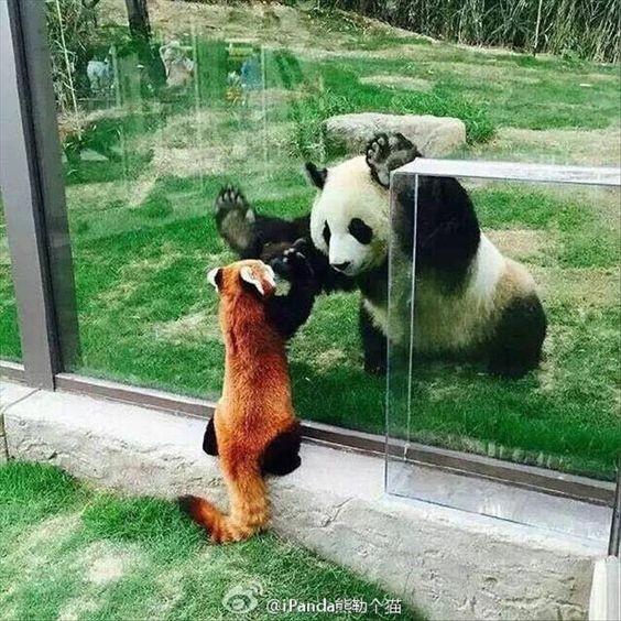 レッサーパンダの画像2枚目!