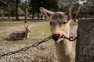 鹿が鎖噛んでる画像集めたの画像4枚目!