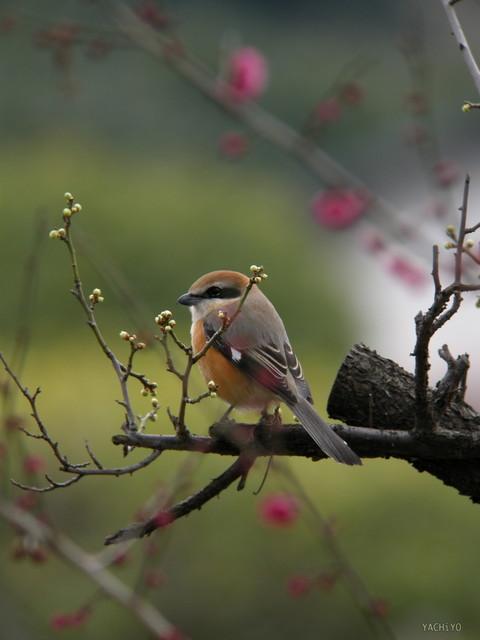 【愛鳥週間】県鳥の画像を貼ってくの画像80枚目!