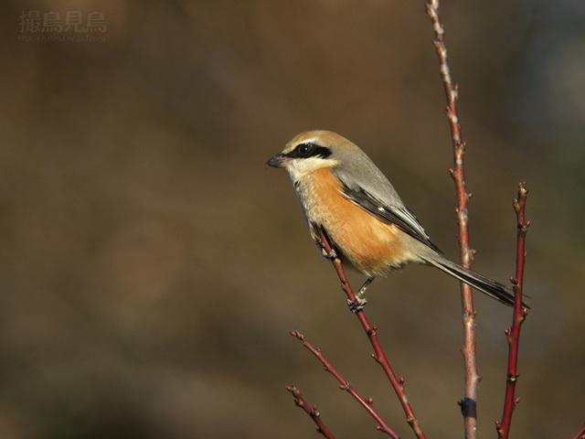 【愛鳥週間】県鳥の画像を貼ってくの画像78枚目!