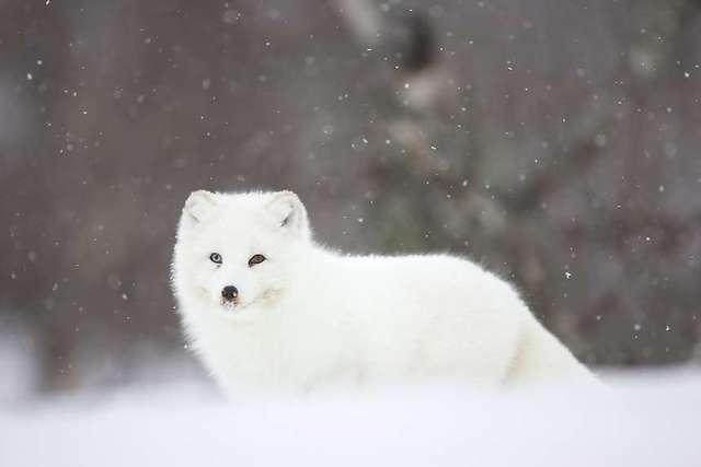 白いキタキツネのスレの画像4枚目!