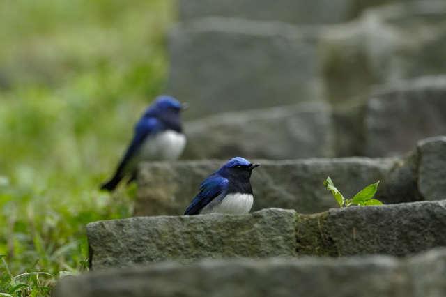 【愛鳥週間】県鳥の画像を貼ってくの画像30枚目!