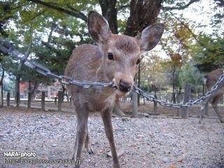 鹿が鎖噛んでる画像集めたの画像42枚目!