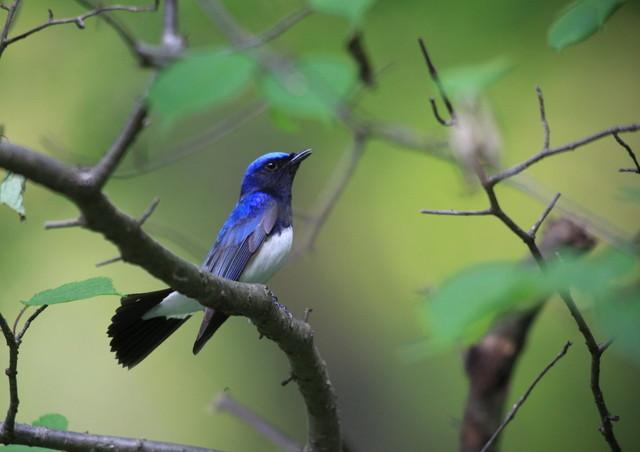 【愛鳥週間】県鳥の画像を貼ってくの画像28枚目!