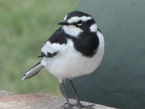 冬の鳥スレ<br />この季節に一度は見る鳥<br />スレ画はハクセキレイの画像1枚目!