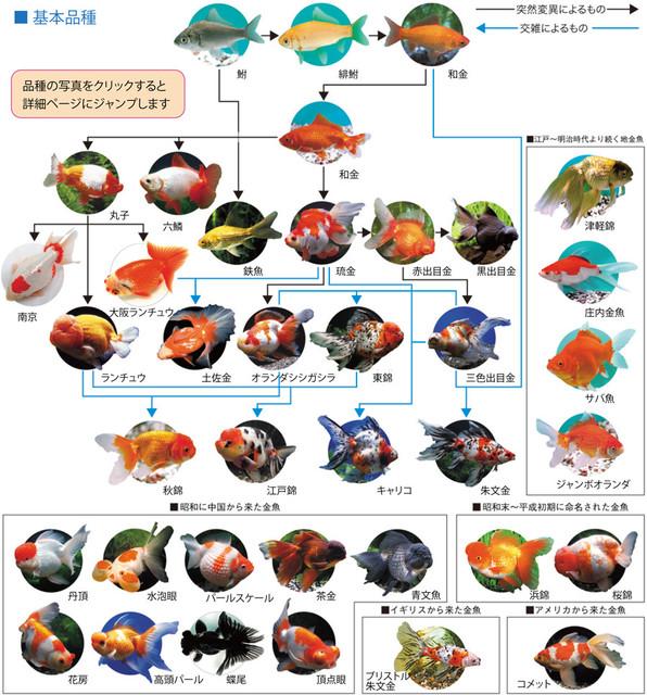 金魚の画像10枚目!