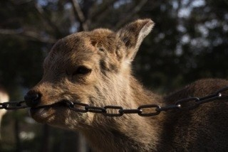鹿が鎖噛んでる画像集めたの画像39枚目!