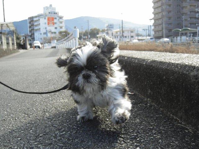 【駄犬】シーズーの画像27枚目!