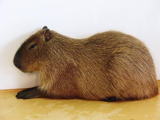カピバラとかいうかわいいネズミの画像1枚目!