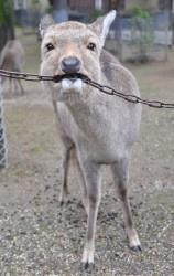 鹿が鎖噛んでる画像集めたの画像31枚目!