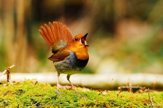 【愛鳥週間】県鳥の画像を貼ってくの画像84枚目!