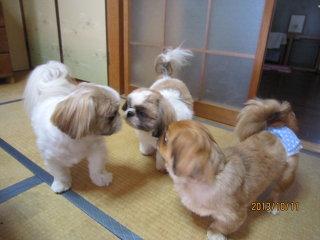 【駄犬】シーズーの画像7枚目!