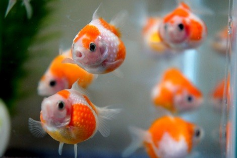 金魚の画像11枚目!