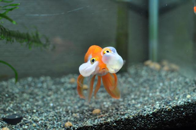 金魚の画像6枚目!