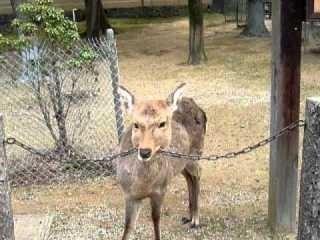 鹿が鎖噛んでる画像集めたの画像9枚目!