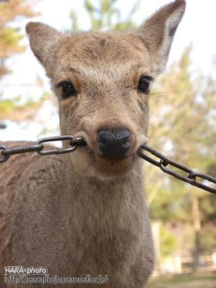鹿が鎖噛んでる画像集めたの画像32枚目!