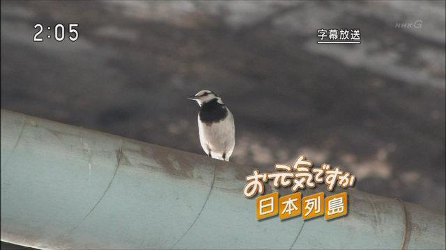 冬の鳥スレ<br />この季節に一度は見る鳥<br />スレ画はハクセキレイの画像6枚目!