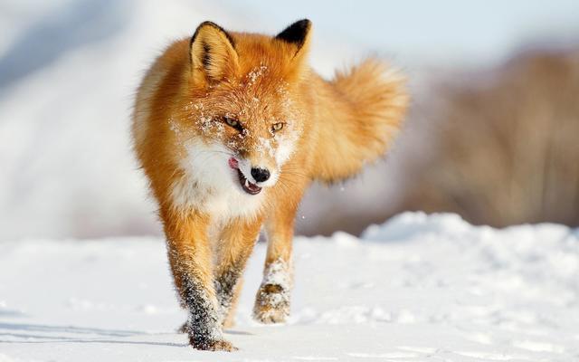 狐スレの画像1枚目!