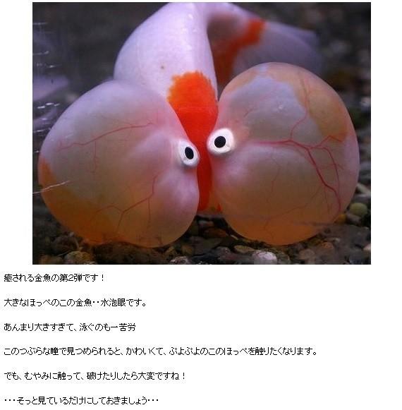 金魚の画像5枚目!