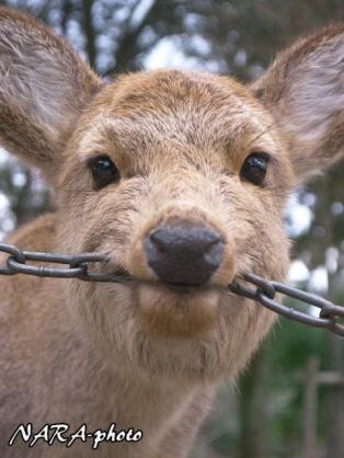 鹿が鎖噛んでる画像集めたの画像28枚目!