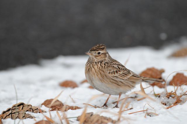 【愛鳥週間】県鳥の画像を貼ってくの画像25枚目!