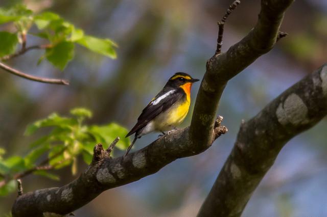 【愛鳥週間】県鳥の画像を貼ってくの画像21枚目!