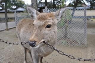 鹿が鎖噛んでる画像集めたの画像18枚目!